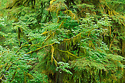 Moss-covered bigleaf maple and western hemlock in the Hoh Rain Forest, Olympic National Park, Washington