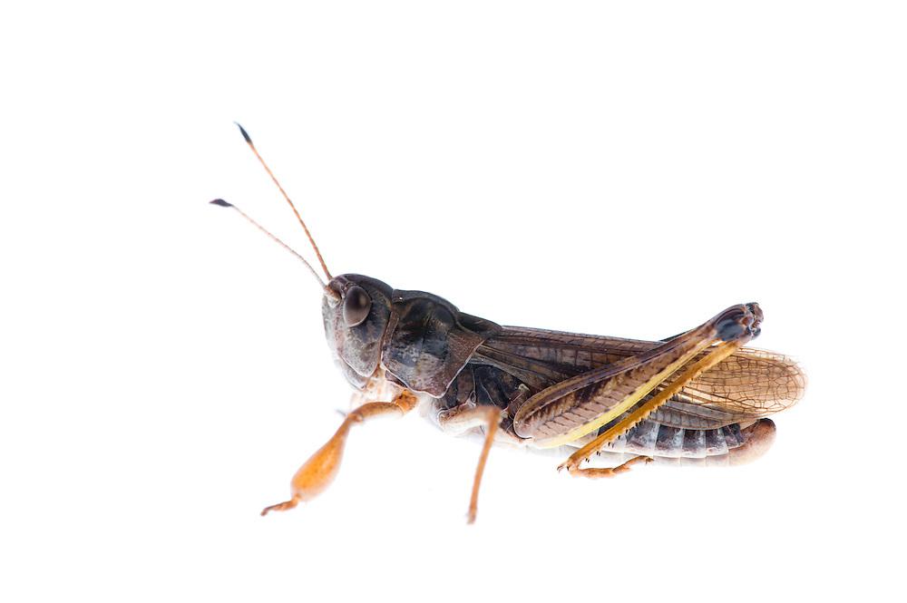 IFTE-NB-007756; Niall Benvie; Gomphocerippus sibiricus; grasshopper; Europe; Austria; Tirol; Fliesser Sonnenhänge; insect arthropod invertebrate; horizontal; high key; brown white; controlled; male; adult; one; moorland; 2008; July; summer; strobe backlight; Wild Wonders of Europe Naturpark Kaunergrat
