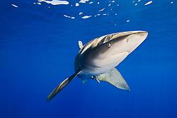 Oceanic Whitetip Shark, Carcharhinus longimanus, off Kona, Big Island, Hawaii, Pacific Ocean.