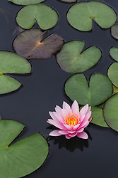 Water Lily, pink #7