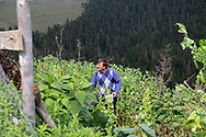 Yilmaz Civelek (centre) 47, at home in Alaca Yaylası, harvesting some vegetables in his home village up in the Pontic mountains, where communicating via whistling is common, due to the large distances between homes, and the mountainous landscape.