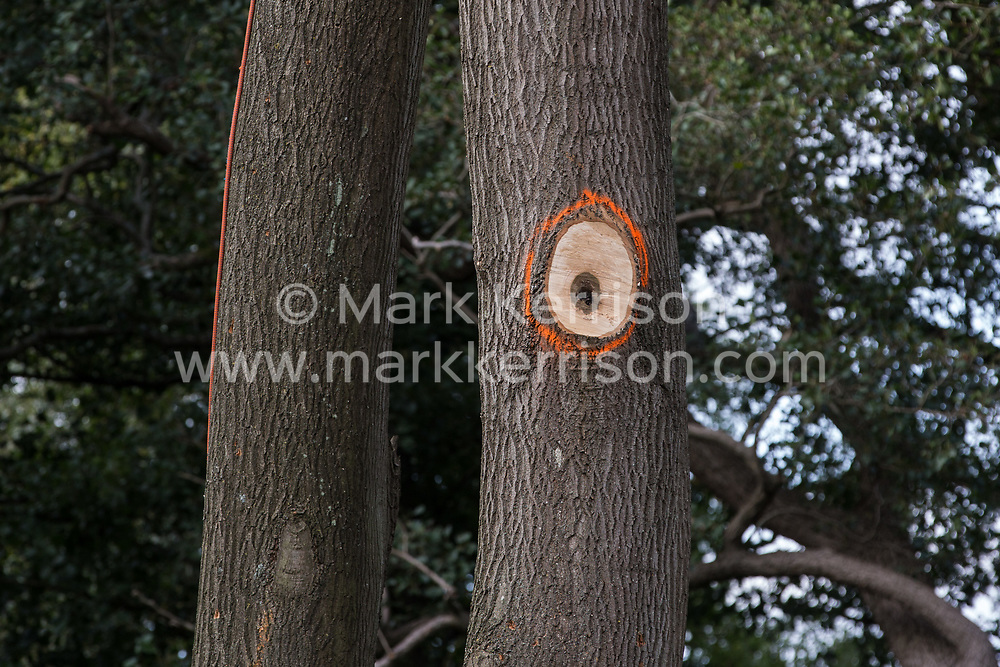 Denham, UK. 11th September, 2020. Mature trees marked with orange paint at a site where tree felling is currently taking place for the HS2 high-speed rail link. Many thousands of trees have already been felled for the HS2 project in the Colne Valley and tree felling is currently taking place in Denham Green, Denham and Harefield.