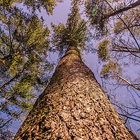 Botanicals: Trees