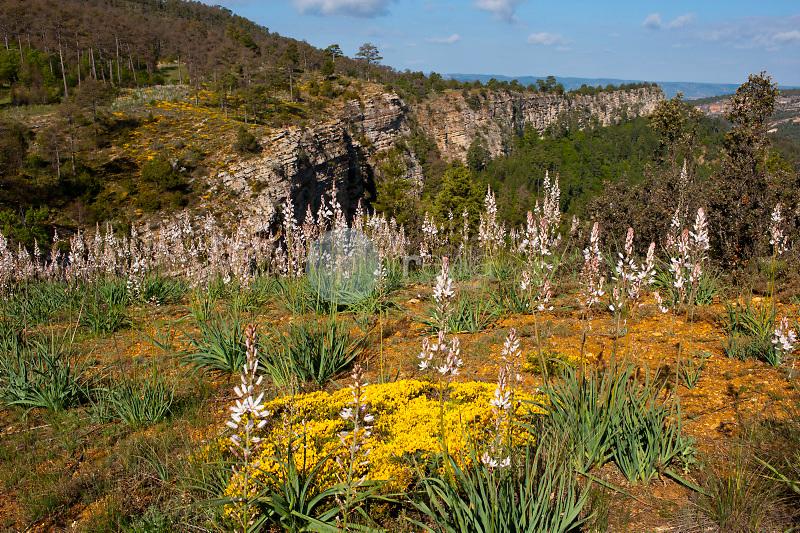 Gamón (Asphodelus aestivus). Parque Natural Serranía de Cuenca. Cuenca. ©Antonio Real Hurtado / PILAR REVILLA