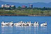 American White Pelicans (Pelecanus erythrorhynchos) in Cherry Creek Reservoir in the Denver Metro Area, Colorado.