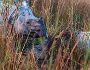 Mother and calf Indian rhinoceroses (Rhinoceros unicornis) among elephant grass in Kaziranga NP, Assam, India.