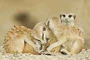 Wenn die Temperaturen am Ende des Tages sinken, kommen die Mitglieder der Erdmännchen-Gruppe (Suricata suricatta) zusammen um zu kuscheln, sich gegenseitig das Fell zu knabbern und ihre Kontakte zu pflegen. Die kalte Nacht werden sie in ihrem unterirdischen Gangsystem verbringen, bevor sie sich von den Strahlen der Mogensonne wieder aufwärmen lassen. |  Suricate or Slender-tailed Meerkat (Suricata suricatta)