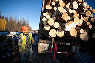 Photo Randy Vanderveen.Grande Prairie, Alberta.Truck driver Kirk Osborne, of ShirMac Contracting, checks his load to ensure that all the logs are sitting on two bunks before pulling ahead and throwing on a wrapper. If not they have to be removed so the load is secure.  The trees harvested to control mountain pine beetle are utilized as much as possible for lumber, pulp or hog fuel for an area electrical co-gen plant.