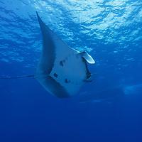 Oceanic Manta Ray, Manta birostris