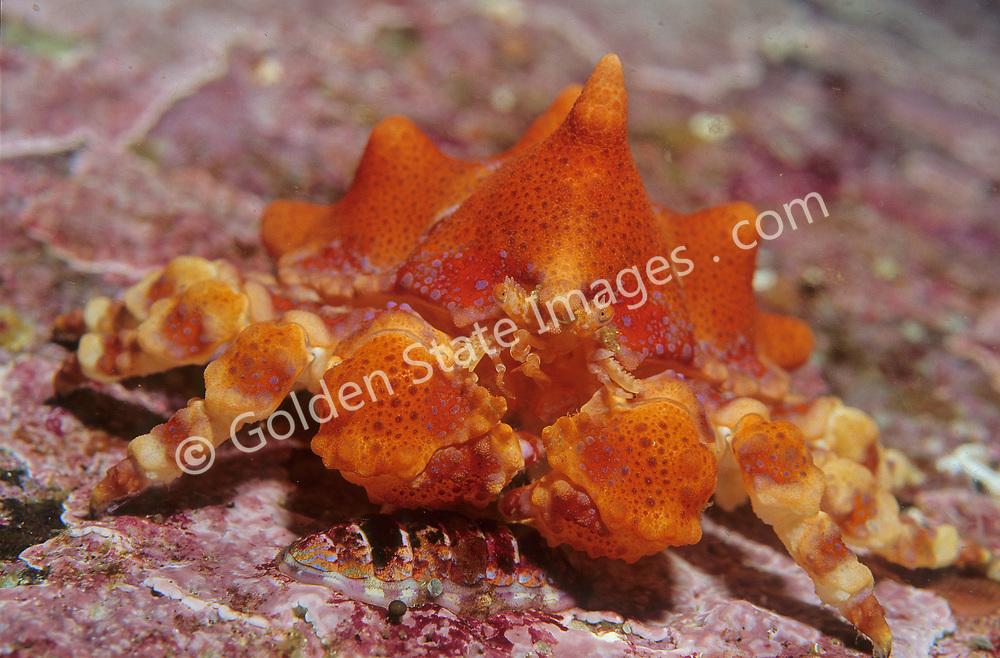 British Columbia<br /> <br /> Species: Lopholithodes mandtii