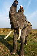 Asian elephant (Elephas maximus), Unesco world heritage site, Kaziranga National Park, Assam, India