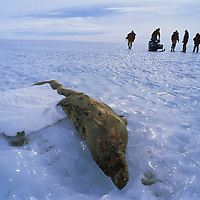 ANTARCTICA. Mummified crabeater seal, found 100+ miles inland on bare ice glacier in Queen Maud Land.