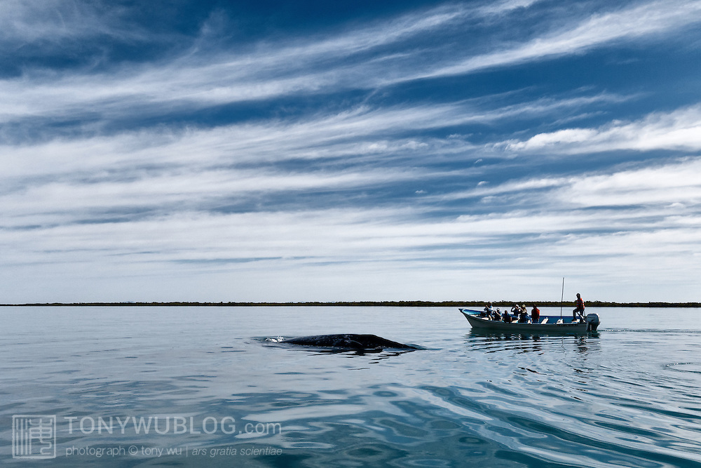 Gray whale (Eschrichtius robustus) female and calf surfacing near a whale watching boat in the calm waters of Magdalena Bay in Baja California, Mexico.