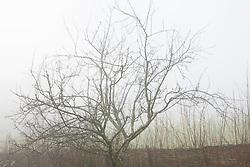 Apple tree on a foggy morning at Glebe Cottage