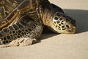 A close up look at a Honu, or Hawaiian Green Sea Turtle.