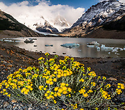 Yellow flower of matamora (Senecio patagonia) at Laguna Torre, Los Glaciares National Park, near El Chalten mountain resort, in Santa Cruz Province, Argentina, Patagonia, South America. Hike 21 km (13 miles) round trip with 730 m (2400 ft) cumulative gain to Laguna Torre and Mirador Maestri to see Cerro Torre and other peaks. Senecio patagonicus is an arid land perennial native to high elevation steppe ecosystems of Patagonia. This image was stitched from multiple overlapping photos.