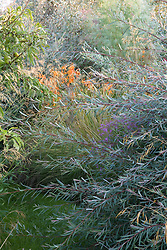 Salix purpurea 'Nancy Saunders' with Lythrum virgatum, Crocosmia 'Late Cornish' and Elaeagnus 'Quicksilver' beyond