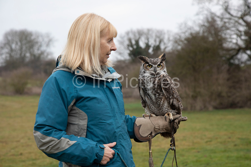 Birds of prey on show during a falconry display near Stratford-upon-Avon, England, United Kingdom. Here a Long Horned Owl with mottled feathers is on the falconers glove.