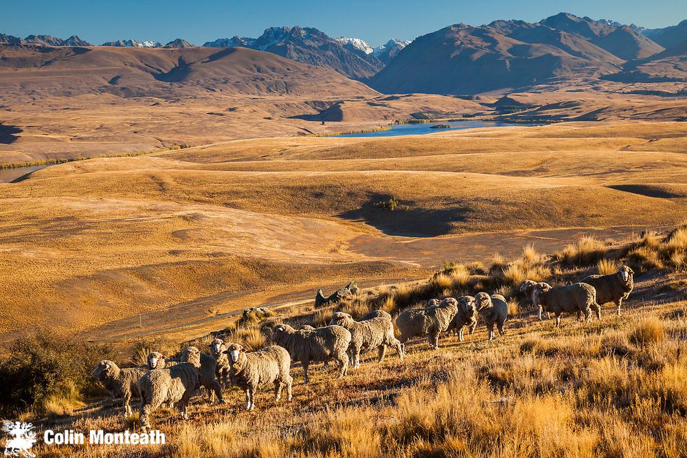 Merino sheep grazing dry autumn tussock grass near Mt John Observatory, Lake Alexandrina below, Mackenzie country, Canterbury.