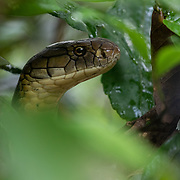 King cobra in the Western Ghats of India shortly after being released into the forest