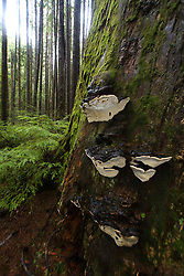Giant Mushrooms and Old Growth Temperate Rainforest on the Trail to Third Beach, Olympic National Park, Washington, US