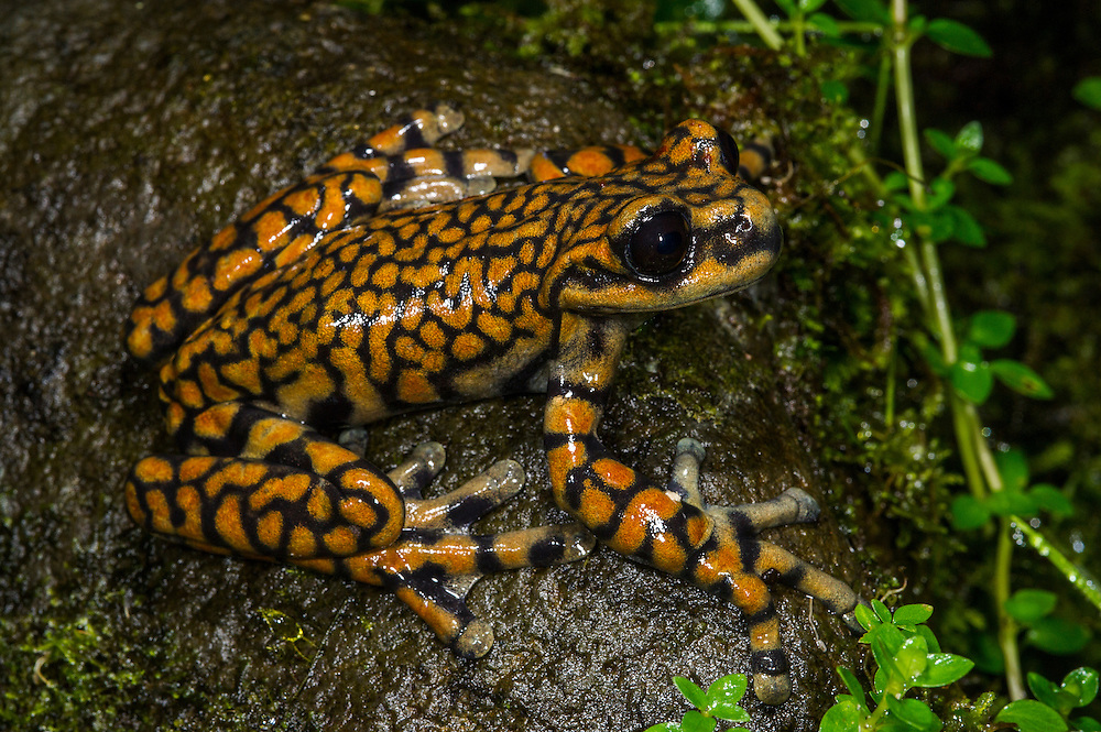 Prince Charles Stream Frog (Hyloscirtus princecharlesi)<br /> CAPTIVE<br /> ECUADOR. South America<br /> Threatened species due to habitat loss.<br /> RANGE: Ecuador<br /> New to Science<br /> Named after Prince Charles