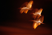 Image of American white ibises in flight over Everglades National Park in Florida at sunset, American Southeast by Randy Wells