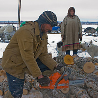 North of the Arctic Circle in Russia, Piotr Terentev, a nomadic Komi reindeer herder, saws wood to heat his family's chum (tepee). Watching him is his 77-year old mother, Marie.