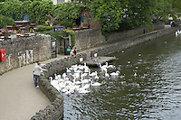 Tourists feeding a flock of Mute swans on the river Thames at Windsor