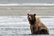 A large grizzly bear boar looks for chum salmon in the lower lagoon at the McNeil River State Game Sanctuary on the Kenai Peninsula, Alaska. The remote site is accessed only with a special permit and is the world's largest seasonal population of brown bears.