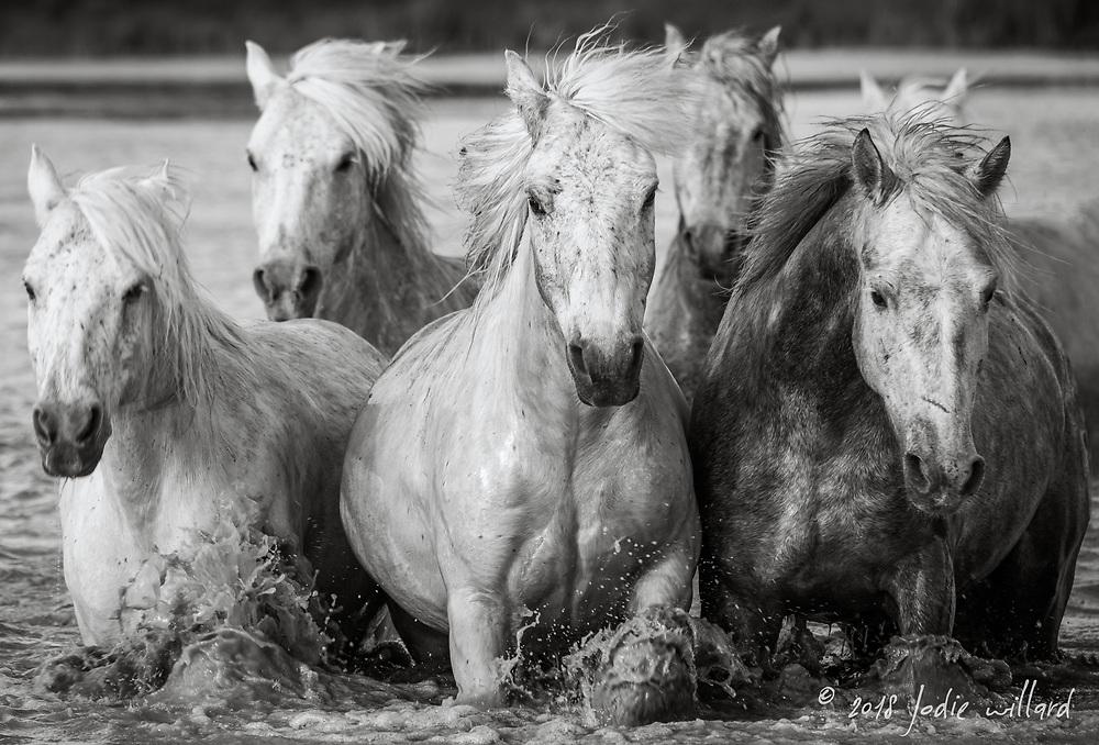 Camargue Horse, Black and white horse, Camargue horse, Camargue horse fine art print, Camargue horses on beach, fine art horse print, horse print, White horse