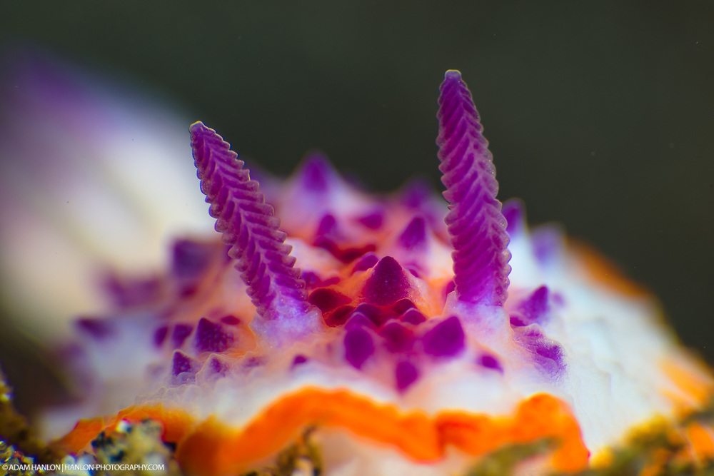 Close up stady of the rhinophores of a Marie's Mexichromis nudibranch. (Mexichromis mariei). These sensory organs provide a great deal of information about chemical and scents in the water as well as currents and water movements. Taken in the Lembeh Straits, Sulawesi, Indonesia.