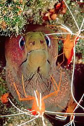 undulated moray, Gymnothorax undulatus, .getting cleaned by scarlet cleaner shrimps, .Lysmata amboinensis, .Kona, Big Island, Hawaii (Pacific)