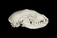 Dog Skull - Canis lupus familiaris