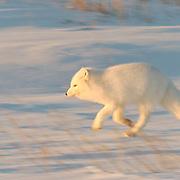 Arctic Fox (Alopex lagopus)Winter fur coat phase, running. Near Churchill, Manitoba. Canada. Winter.