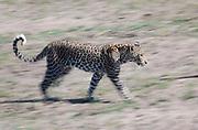 Young male leopard walking in open grassland