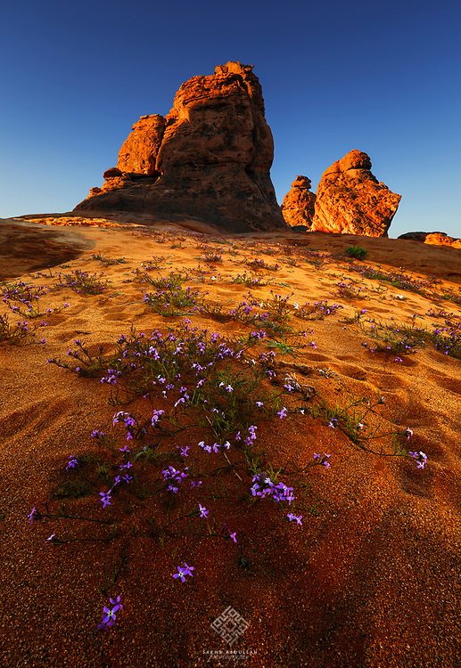 After the rain and early spring we can see this scene in the deserts of Saudi Arabia.