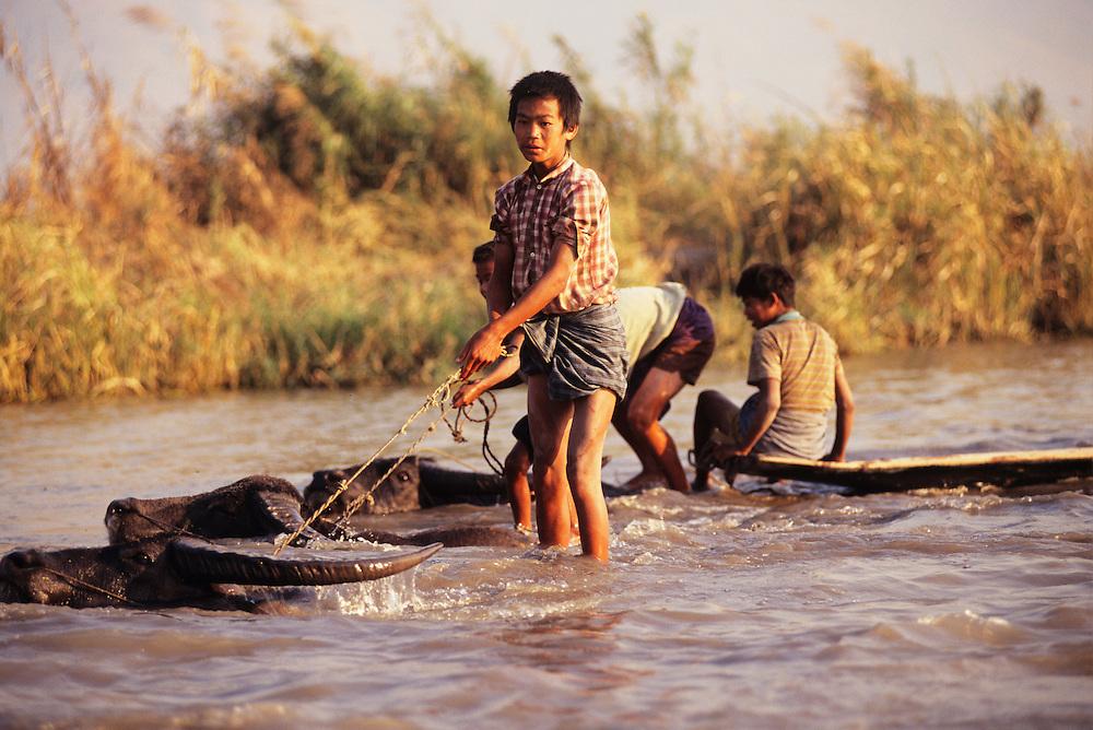 Boys herding swimming water buffalo in Nankang Canal, Inle Lake, Shan State, Myanmar