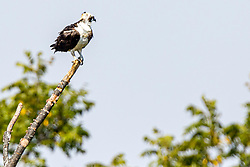Osprey (Pandion haliaetus) - believed to be a male.  Image shot in a 25mph wind with Eos R and a 600f4 and 1.4x telextender mounted on a tripod at about 350 feet.
