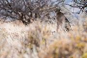 Portrait of a  female cheetah, Acinonyx jubatus, in tall grass, Samburu National Reserve, Kenya.