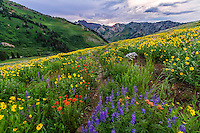 The hills of Albion Basin explode with wildflower color in Utah's Little Cottonwood Canyon on a cool Summer sunset.