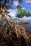 Mangrove, Kaneohe Bay, Oahu, Hawaii<br />