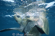 olive ridley sea turtles, Lepidochelys olivacea, mating, Costa Rica, Central America ( Eastern Pacific Ocean )