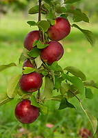 Apple trees ready for picking at Stone Brook Farm in Gilford.  (Karen Bobotas/for the Laconia Daily Sun)
