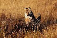 Coyote cazando un roedor, Yellowstone NP, Wyoming (Estados Unidos)