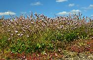 Rottingdean Sea-lavender - Limonium hyblaeum