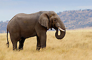 Elephant feeding in Serengeti, Tanzania RESERVED USE - NOT FOR DOWNLOAD -  FOR USE CONTACT TIM GRAHAM