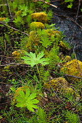 In the Hummocks, Mt. St. Helens National Volcanic Monument, Washington, US