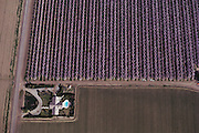 Aerial photograph of almond orchards in the Central Valley, California..