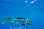 dorado, mahi mahi, or dolphin fish, Coryphaena hippurus, off Isla Mujeres, near Cancun, Yucatan Peninsula, Mexico ( Caribbean Sea )